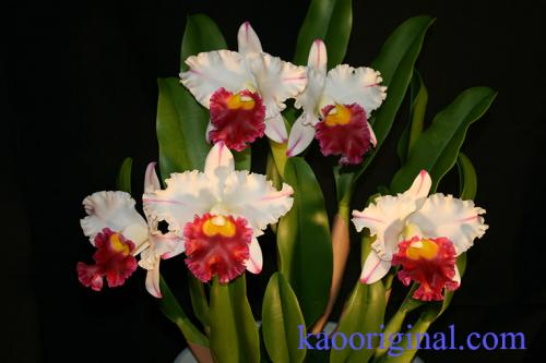 Cattleya-red-lip-1