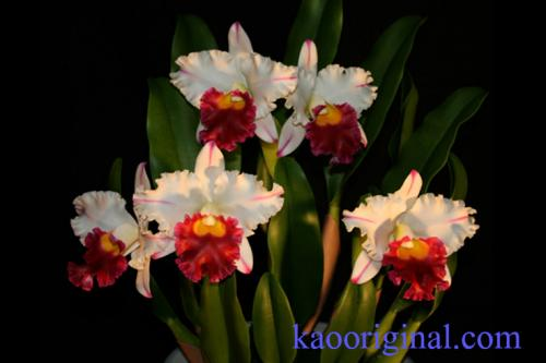 Cattleya-red-lip-2