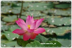 Lotus flower (13)