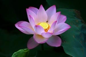 Lotus flower (17)