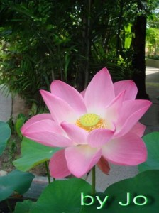 Lotus flower (4)