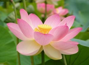 Lotus flower (6)
