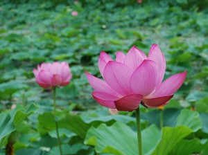 Lotus flower (7)