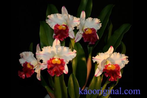 Cattleya-red-lip-2