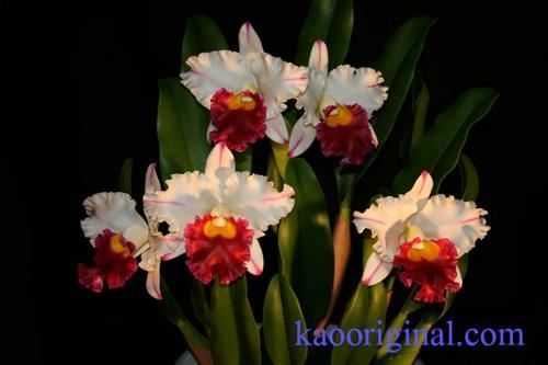 Cattleya-red-lip-3