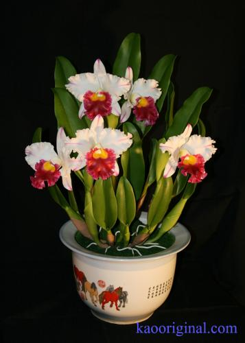 Cattleya-red-lip