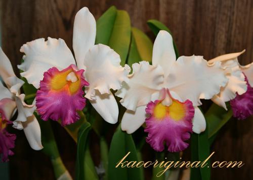 Cattleya-white-pink
