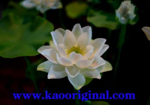 Nelumbo nucifera flower 1025 (17)